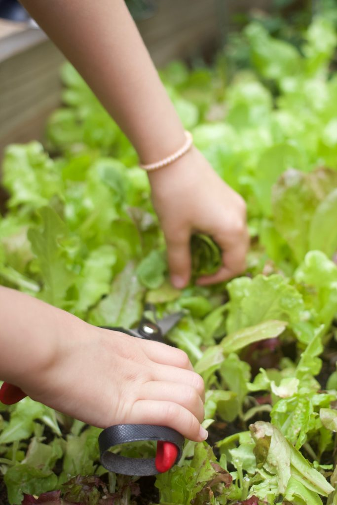 mesclun baby greens being cut